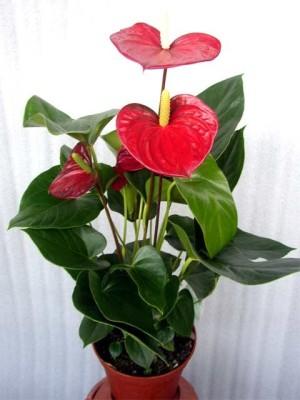 Антуриум что за цветок фото